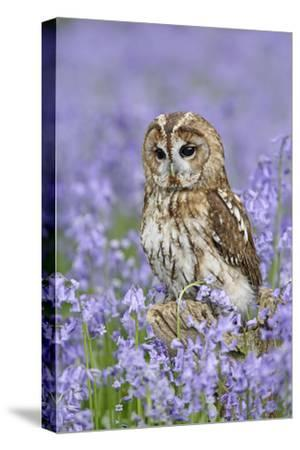 Tawny Owl on Tree Stump in Bluebell Wood--Stretched Canvas Print