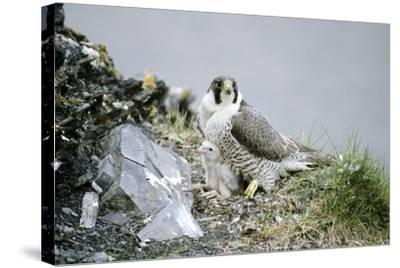 Peregrine Falcon Adult Warms a Chick-Andrey Zvoznikov-Stretched Canvas Print