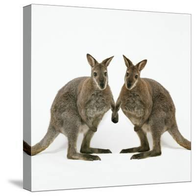 Wallaby X2 Holding Hands-Andy and Clare Teare-Stretched Canvas Print
