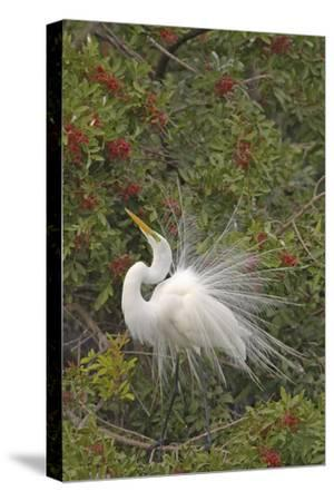 Great White Egret Displaying in Tree--Stretched Canvas Print