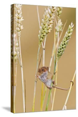 Harvest Mouse in Wheat--Stretched Canvas Print