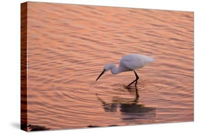 Snowy Egret Feeding in Lagoon at Sunset--Stretched Canvas Print