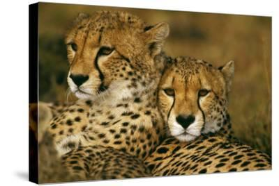 Cheetah Pair--Stretched Canvas Print