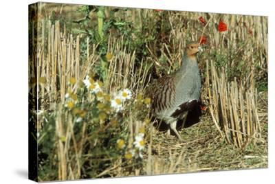 Grey Partridge Male in Stubble with Poppies and Daisies--Stretched Canvas Print