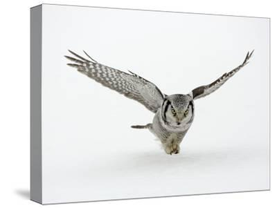 Hawk Owl in Flight over Snow--Stretched Canvas Print