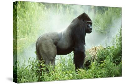 Lowland Gorilla Male Silverback--Stretched Canvas Print