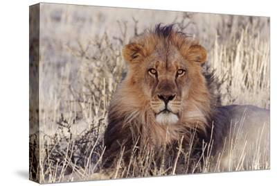 Lion Close-Up of Head, Facing Camera--Stretched Canvas Print