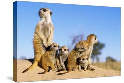 Meerkat Adult Babysitters and Young--Stretched Canvas Print