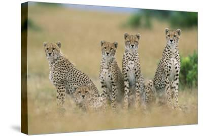 Cheetahs X Five Sitting in Line--Stretched Canvas Print