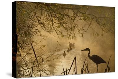 Heron Autumn Mist over Woodland Pond with Ducks--Stretched Canvas Print