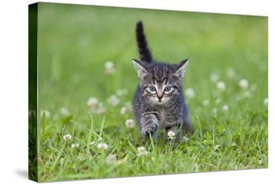 Kitten Walking across Lawn--Stretched Canvas Print