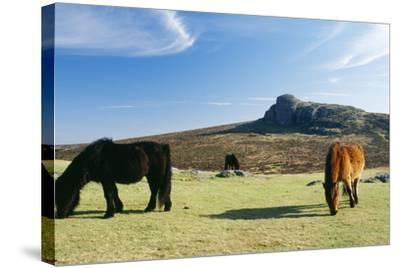 Dartmoor Ponies with Haytor in Background--Stretched Canvas Print