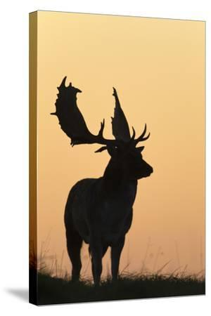 Fallow Deer Buck as Silhouette Standing on Horizon--Stretched Canvas Print