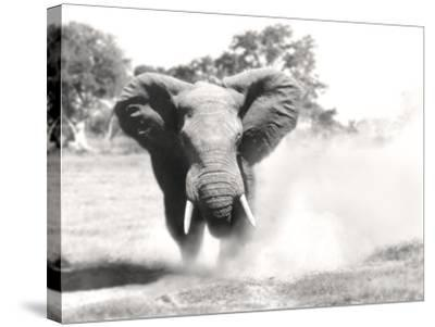 African Elephant Bull Displaying Aggressive Behaviour--Stretched Canvas Print
