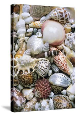 Mixed South Sea Shells--Stretched Canvas Print