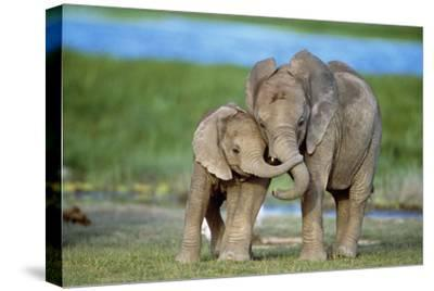 African Elephant Two Calves with Trunks Together--Stretched Canvas Print