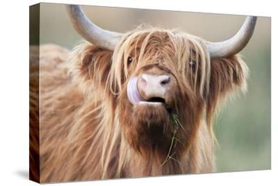 Highland Cattle Chewing on Grass--Stretched Canvas Print