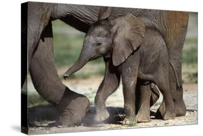 African Elephant Calf--Stretched Canvas Print