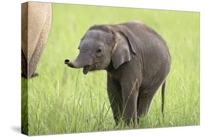 Asian Elephant Calf--Stretched Canvas Print