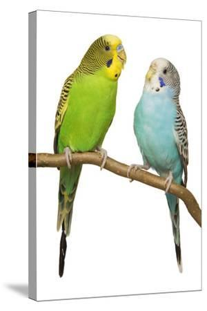 Budgerigars on Perch--Stretched Canvas Print
