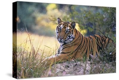 Bengal Indian Tiger Resting on Mound--Stretched Canvas Print