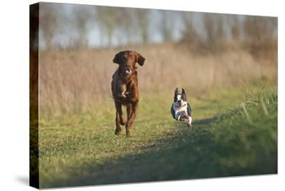 Irish Setter and Boston Terrier Running--Stretched Canvas Print