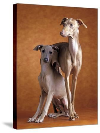 Small Italian Greyhounds Two Together--Stretched Canvas Print