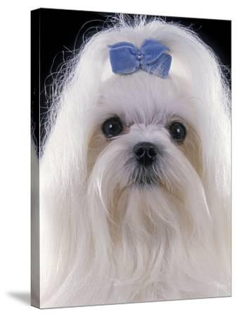 Maltese--Stretched Canvas Print