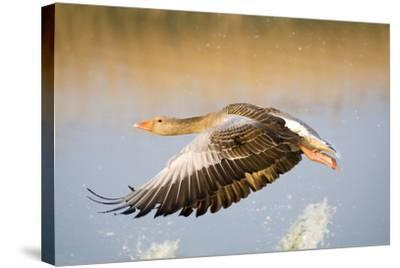 Greylag Goose in Flight--Stretched Canvas Print