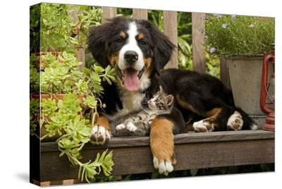 3 Month Old Bernese Mountain Dog Puppy On--Stretched Canvas Print
