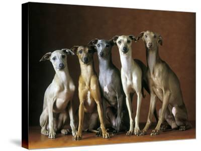 Small Italian Greyhounds Five Sitting Down Together--Stretched Canvas Print