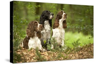 English Springer Spaniels in Woodland--Stretched Canvas Print
