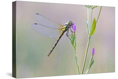 Common Darter Dragonfly Resting on Common Centaury--Stretched Canvas Print