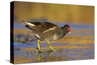 Moorhen Walking on Thin Ice in Early Morning--Stretched Canvas Print