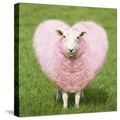 Sheep Ewe Pink Heart Shaped Wool--Stretched Canvas Print