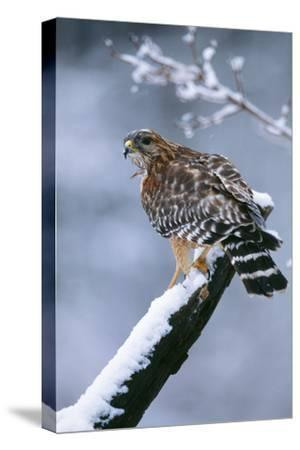 Red-Shouldered Hawk Adult in Snow--Stretched Canvas Print