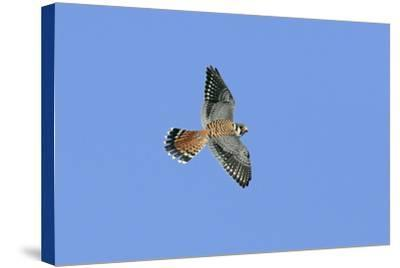 American Kestrel Male in Flight--Stretched Canvas Print