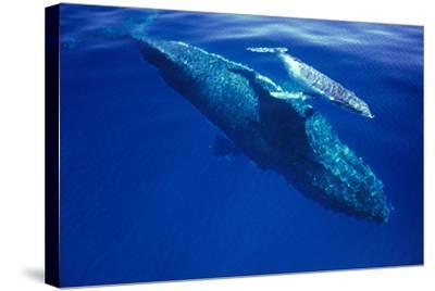 Humpback Whale Female and Her Week-Old Calf Tonga--Stretched Canvas Print