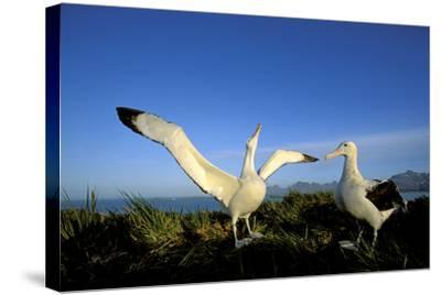 Wandering Albatross Courtship Display--Stretched Canvas Print