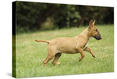 Miniature Bull Terrier--Stretched Canvas Print