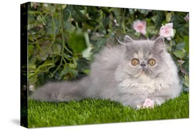 Persian Kitten in Garden Amongst Flowers--Stretched Canvas Print