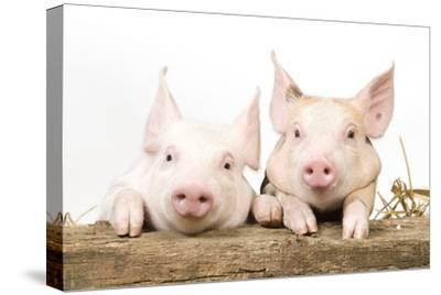 Piglets Looking over Fence--Stretched Canvas Print