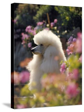 Poodle--Stretched Canvas Print