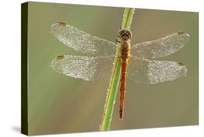 Southern Darter Dragonfly--Stretched Canvas Print