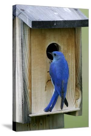 Mountain Bluebird Male at Nest Box--Stretched Canvas Print