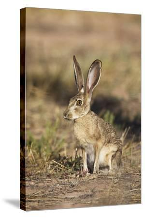 Black-Tailed Jackrabbit--Stretched Canvas Print