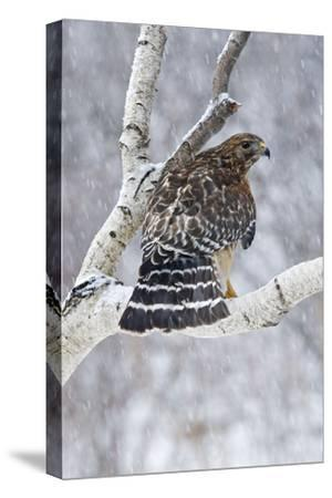 Red-Shouldered Hawk Adult Bird in Snowstorm--Stretched Canvas Print