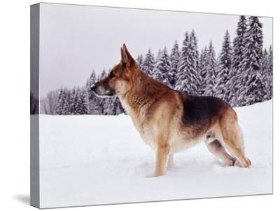 German Shepherd, Alsatian Dog Standing Deep Snow--Stretched Canvas Print