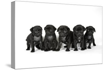 Five Black Pug Puppies (6 Weeks Old)--Stretched Canvas Print