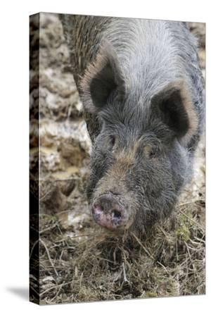 Berkshire Pig in Mud (Head Shot)--Stretched Canvas Print